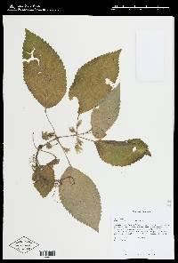 Nautilocalyx panamensis image