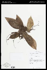 Floscopa robusta image