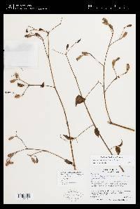 Arthrostemma ciliatum image