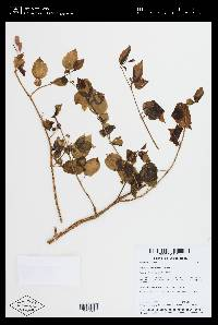 Arthrostemma alatum image
