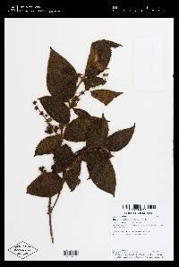 Clidemia capitellata image