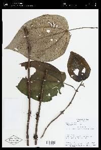 Clidemia septuplinervia image
