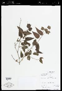 Mouriri myrtilloides image