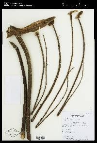 Schefflera sphaerocoma image