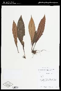 Paradrymonia lineata image