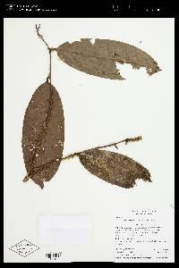 Eschweilera integrifolia image