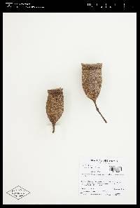 Couratari guianensis image