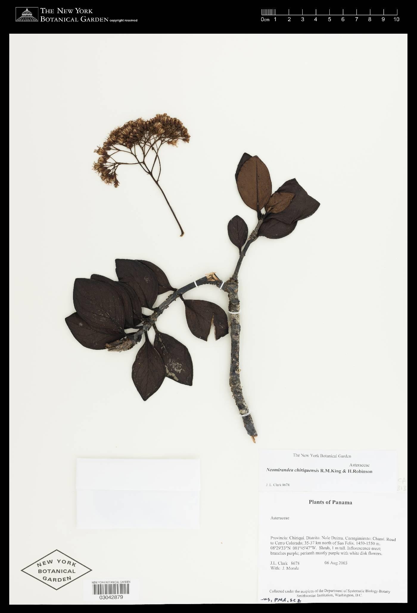 Neomirandea chiriquensis image