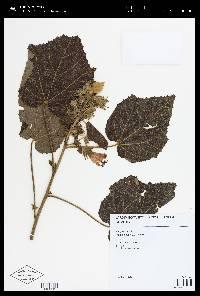 Pavonia dasypetala image