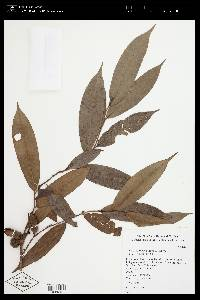 Xylopia macrantha image