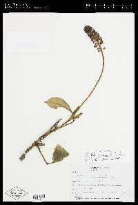 Image of Schefflera jefensis