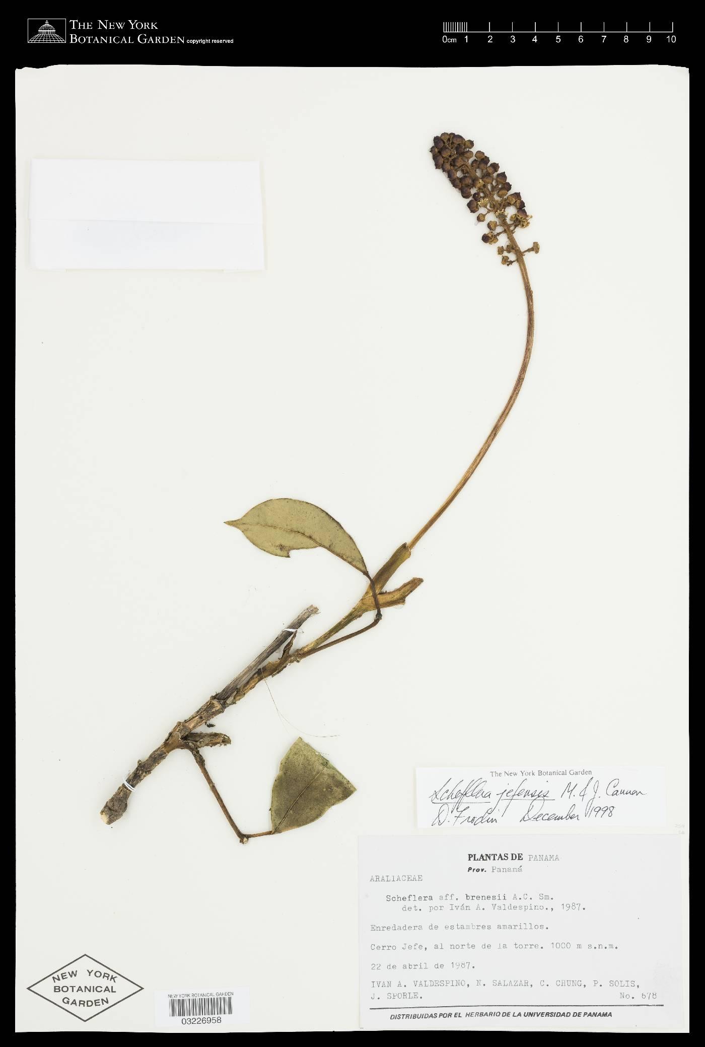 Schefflera jefensis image