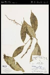 Schefflera brenesii image