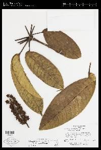 Schefflera panamensis image