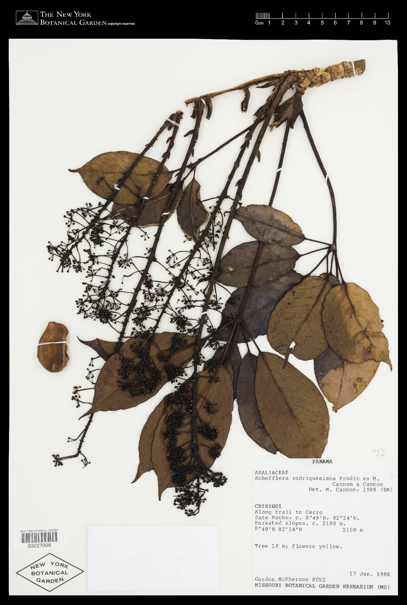 Schefflera rodriguesiana image