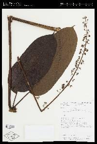 Schefflera seibertii image