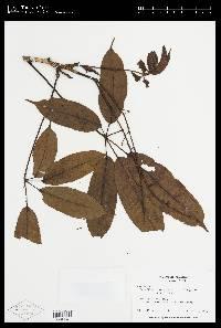 Schefflera systyla image