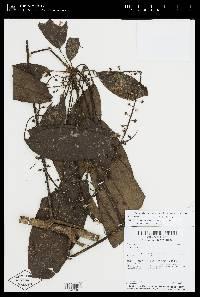 Schefflera robusta image