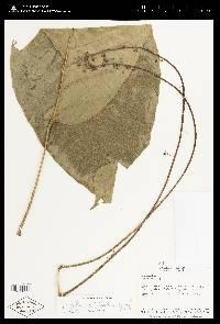Image of Schefflera whitefoordiae