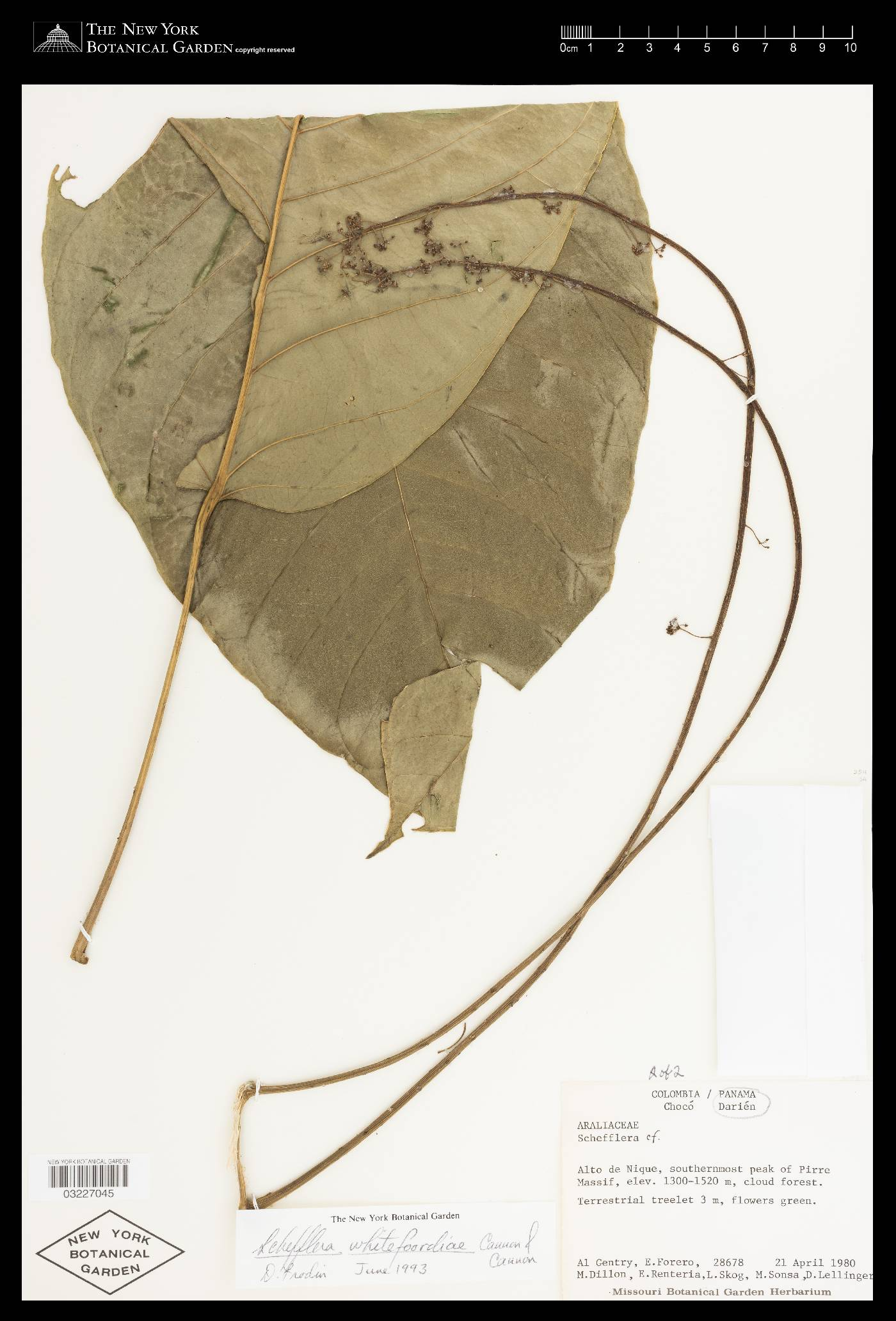 Schefflera whitefoordiae image