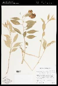 Burmeistera glauca image