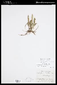 Scaphosepalum microdactylum image