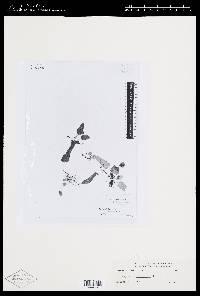 Elaphoglossum proliferans image