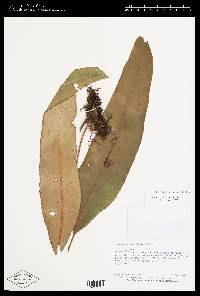 Elaphoglossum phoras image