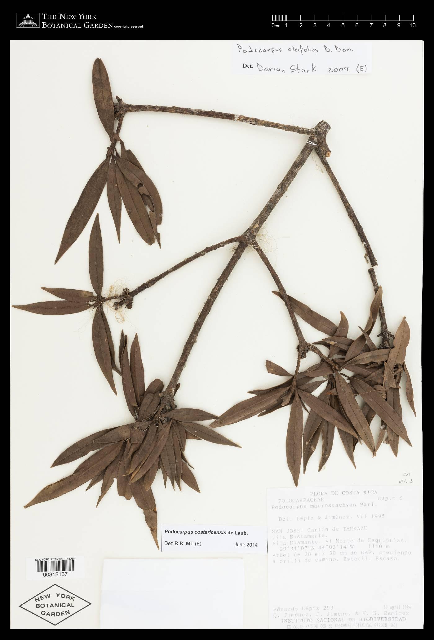 Podocarpus costaricensis image