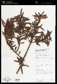 Podocarpus oleifolius image