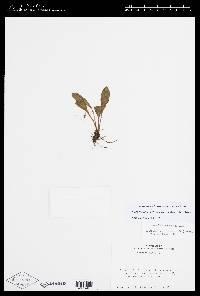 Elaphoglossum bellermannianum image