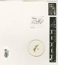 Hookeriopsis panamensis image