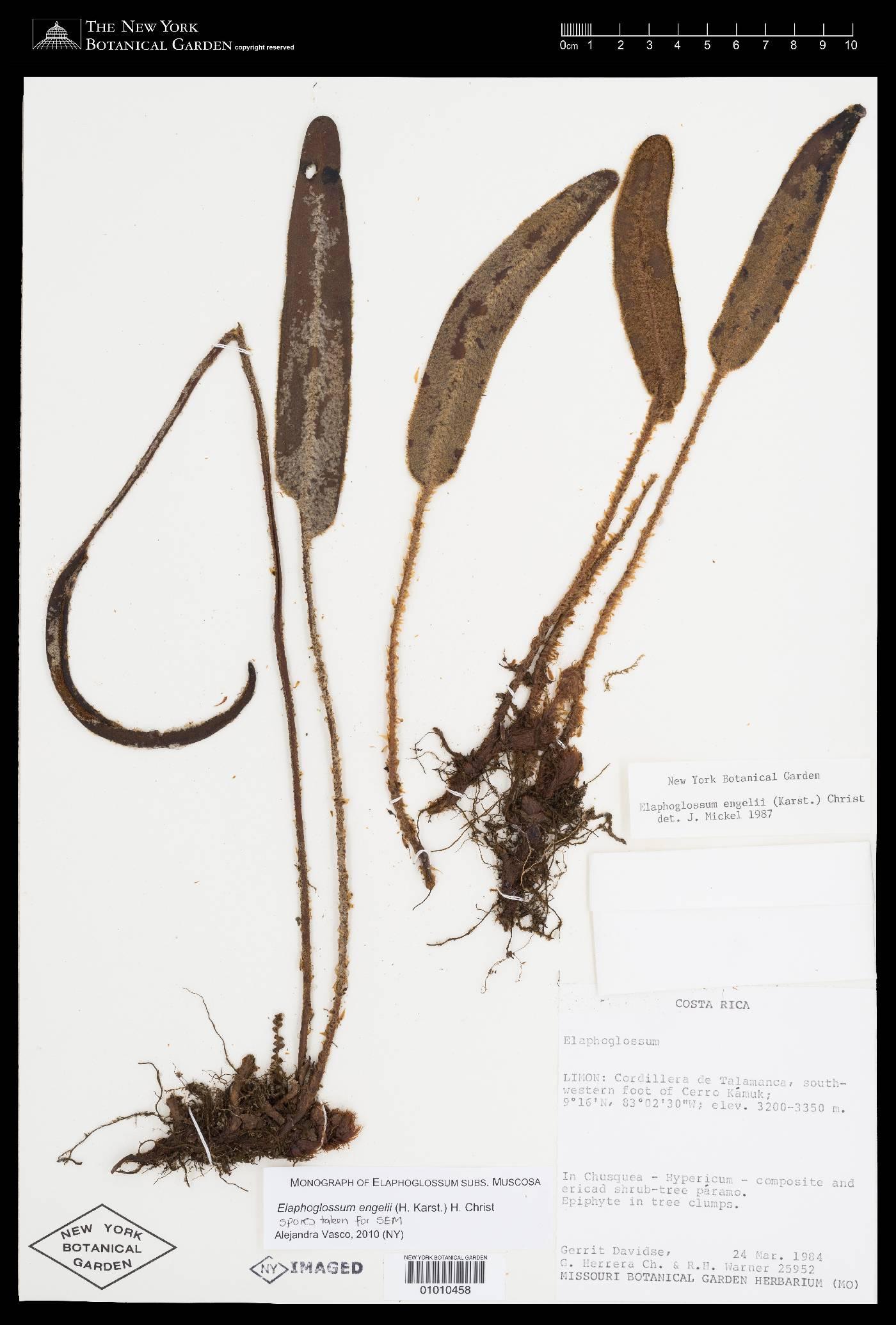 Elaphoglossum engelii image