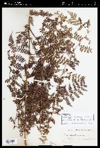 Hypolepis nigrescens image