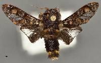 Phobetron hipparchia image