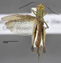 Amblytropidia mysteca image