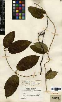 Image of Prestonia quinquangularis