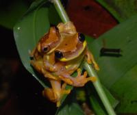 Dendropsophus ebraccatus image