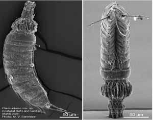 Centroderidae image
