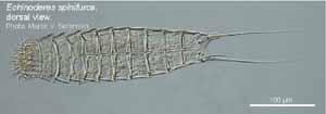 Echinoderes spinifurca image