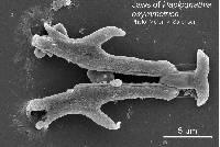 Image of Haplognathia asymmetrica