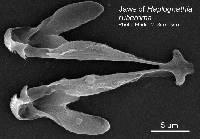 Image of Haplognathia ruberrima