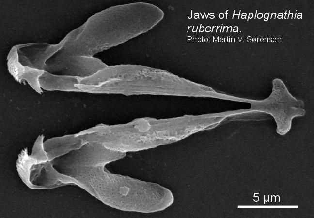Haplognathiidae image