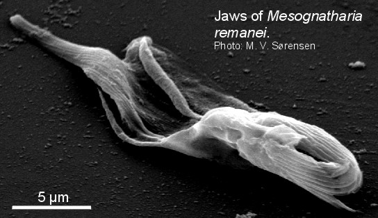 Mesognatharia remanei image