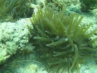 Image of Condylactis gigantea