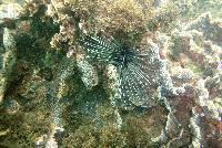 Diadema antillarum image