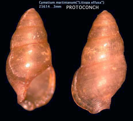 Cymatium martinianum image