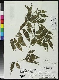 Laetia micrantha image