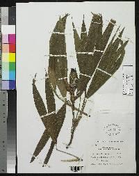 Asplundia microphylla image
