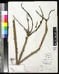 Erythrina chiriquensis image